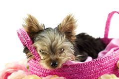 Yorkshire Terrier Puppy in Basket Stock Photography