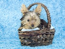 Yorkshire Terrier Puppy in Basket Royalty Free Stock Photography