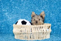 Yorkshire Terrier Puppy in basket with soccer ball Stock Photos