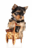 Yorkshire terrier puppy in basket Royalty Free Stock Image