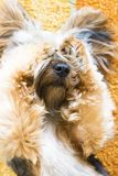 Yorkshire Terrier puppy being cute. Yorkshire Terrier puppy being cute with paws on face on orange carpet Stock Photo