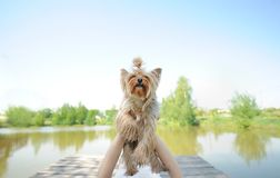 Yorkshire terrier puppy being held up against a lake and blue sky Stock Photo