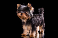 Yorkshire terrier puppy. On a black background with reflection in a mirror Stock Photo