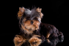 Yorkshire terrier puppy. On a black background with reflection in a mirror Stock Image