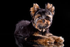 Yorkshire terrier puppy. On a black background with reflection in a mirror Stock Photos