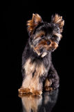 Yorkshire terrier puppy. On a black background with reflection in a mirror Royalty Free Stock Image