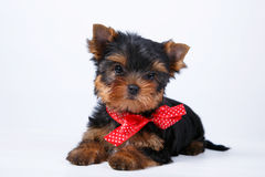 Yorkshire terrier puppy with a blue bow Stock Images