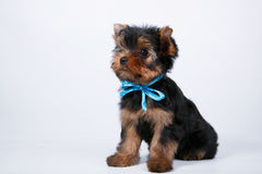Yorkshire terrier puppy with a blue bow Royalty Free Stock Image