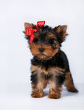 Yorkshire terrier puppy with a blue bow. On white background Stock Images
