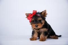 Yorkshire terrier puppy with a blue bow. On white background Royalty Free Stock Photography