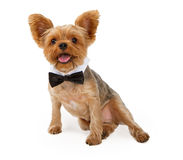 A Yorkshire Terrier Puppy with a Bow Tie Stock Photo