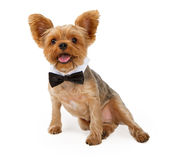 A Yorkshire Terrier Puppy with a Bow Tie Royalty Free Stock Photos