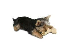 Yorkshire terrier puppy chewing on a bone Stock Photo