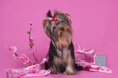Yorkshire terrier puppy on a colored background isolated Stock Image