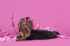 Yorkshire terrier puppy on a colored background isolated Stock Photography