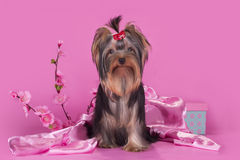 Yorkshire terrier puppy on a colored background isolated Stock Photos