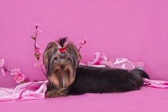 Yorkshire terrier puppy on a colored background isolated Royalty Free Stock Photography