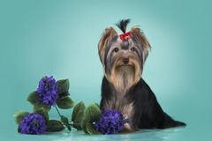 Yorkshire terrier puppy on a colored background isolated Royalty Free Stock Image