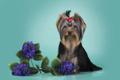 Yorkshire terrier puppy on a colored background isolated Royalty Free Stock Photos