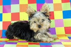 Yorkshire Terrier Puppy with Colorful Background Stock Images