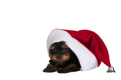 Yorkshire terrier puppy. Royalty Free Stock Images