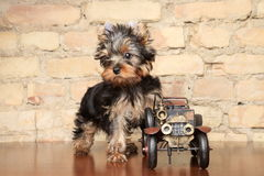 Yorkshire Terrier puppy with decorative auto royalty free stock photos