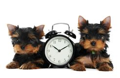 Yorkshire Terrier puppy dog Royalty Free Stock Photo