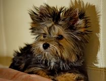 Yorkshire Terrier puppy dog at home Stock Images