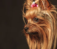 Yorkshire terrier puppy dog's head looking away Royalty Free Stock Photo