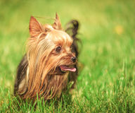 Yorkshire terrier puppy dog with tongue out looking to its side Stock Photo