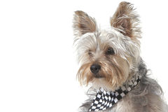 Yorkshire Terrier puppy dog wearing bandana Royalty Free Stock Image