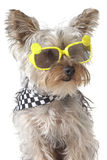 Yorkshire Terrier puppy dog wearing bandana and tiny sunglasses Stock Photo