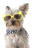 Yorkshire Terrier puppy dog wearing bandana and tiny sunglasses Royalty Free Stock Photos