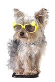 Yorkshire Terrier puppy dog wearing bandana and tiny sunglasses Royalty Free Stock Photography