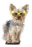 Yorkshire Terrier puppy dog wearing bandana and tiny sunglasses Stock Images