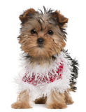 Yorkshire Terrier puppy dressed up Stock Images
