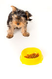 Yorkshire terrier puppy eats feed Royalty Free Stock Photo
