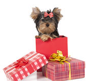 Yorkshire terrier puppy in a gift box Royalty Free Stock Photo