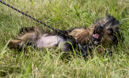 Yorkshire terrier puppy. On the grass, it can be play Stock Images