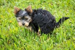 Yorkshire Terrier Puppy on Green Grass Field Stock Photos