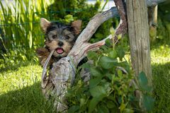 Yorkshire Terrier Puppy Hiding Behind Tree Root Royalty Free Stock Photography