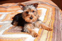 Yorkshire terrier puppy. In home interior Royalty Free Stock Image