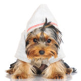 Yorkshire terrier puppy in a hood Stock Photography