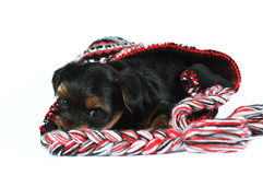 Yorkshire terrier puppy inside a cap Stock Photo