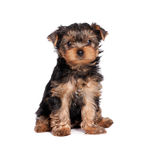 Yorkshire terrier puppy isolated on white Stock Image