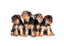 Yorkshire terrier puppy isolated on white Royalty Free Stock Images