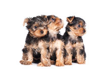 Yorkshire terrier puppy isolated on white Stock Photography