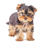 Yorkshire Terrier puppy isolated on white Royalty Free Stock Photos