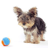 Yorkshire terrier puppy, isolated on white Royalty Free Stock Images
