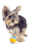 Yorkshire terrier puppy, isolated on white Stock Photos